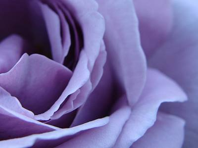 Lavender Rose Abstract Poster