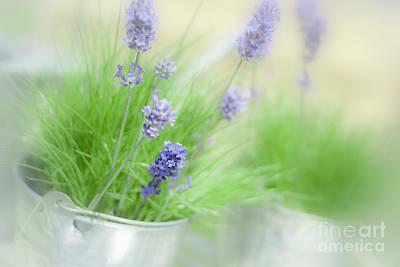 Lavender Sprigs Poster by Amanda Elwell