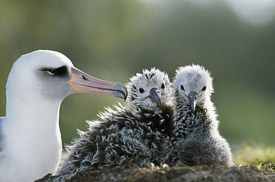 Laysan Albatross Chick Poster by Tui De Roy