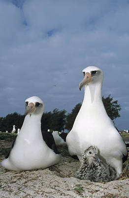 Laysan Albatross Parents Exchanging Poster by Tui De Roy