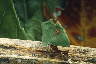 Leaf-cutter Ants Poster by Gregory G. Dimijian