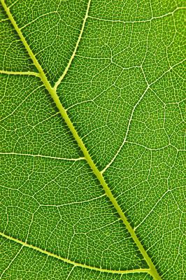 Leaf Detail Poster by Carsten Reisinger