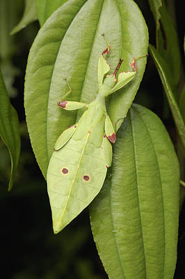 Leaf Insect Camouflaged Sarawak Borneo Poster by Ch'ien Lee