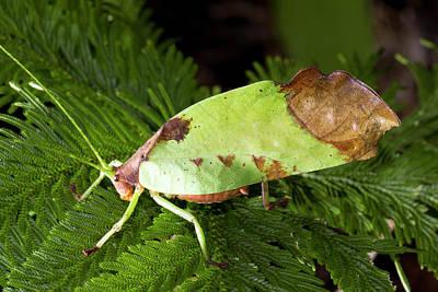 Leaf Mimic Busk Cricket Poster