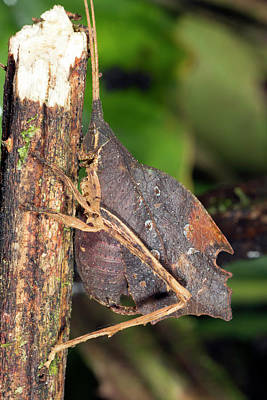 Leaf Mimic Katydid Poster by Dr Morley Read