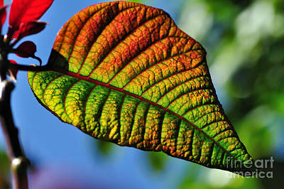 Leaf Of The Poinsettia Poster by Kaye Menner