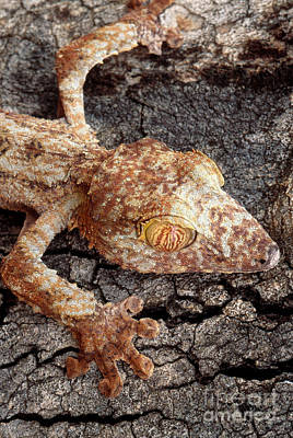 Leaf-tailed Gecko Poster by Art Wolfe