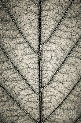 Leaf Texture In Sepia Poster