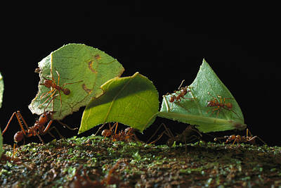 Leafcutter Ant Ants Taking Leaves Poster by Mark Moffett