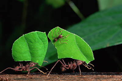 Leafcutter Ant Atta Sp Group Workers Poster by Michael and Patricia Fogden