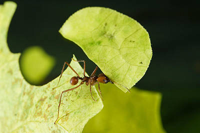 Leafcutter Ant Carrying Freshly Cut Poster by Konrad Wothe