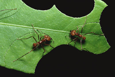 Leafcutter Ant Pair Cutting Leaf Poster by Konrad Wothe