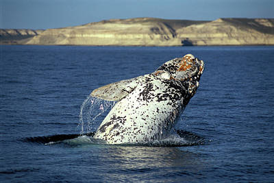 Leaping Southern Right Whale, Eubalaena Poster by Javier Etcheverry