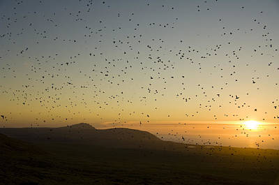 Least Auklets, Returning To Their Nest Poster by Brian Guzzetti