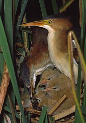 Least Bittern Family Feeding Time  994-4 Poster by Mark Wallner