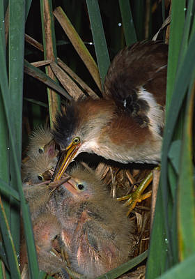 Least Bittern Feeding Time At The Nest  999-10 Poster by Mark Wallner