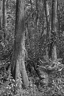 Leather Fern. Shingle Creek Basin. Poster
