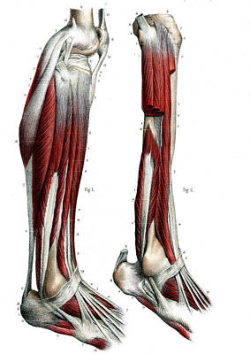 Leg Anatomy Poster by Collection Abecasis