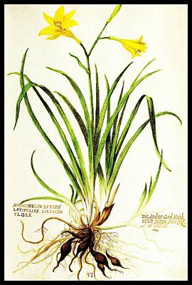 Poster featuring the drawing Lemon Daylily Botanical by Rose Santuci-Sofranko