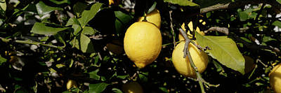 Lemons Growing On Tree, Vinaros Poster by Panoramic Images