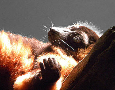 Lemur Lounging Poster