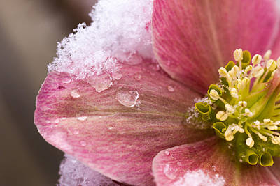 Poster featuring the photograph Lenten Rose by Cathy Donohoue
