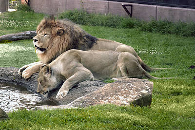 Leo And Una - Twin Male And Female Lions At The University Of North Alabama Poster