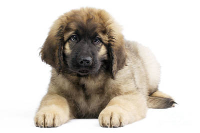 Leonberger Puppy Poster by Jean-Michel Labat