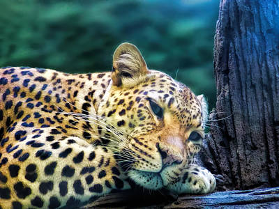 Poster featuring the photograph Leopard 1 by Dawn Eshelman