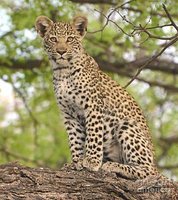 Leopard Cub Gaze Poster