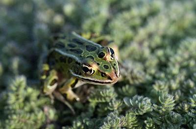 Leopard Frog In Wooly Thyme Poster