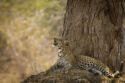 Leopard Gazing Up Poster