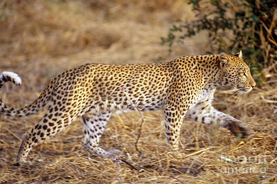 Leopard Poster by Gregory G. Dimijian, M.D.