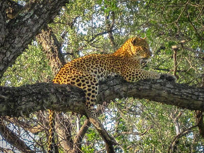 Leopard In A Tree Poster