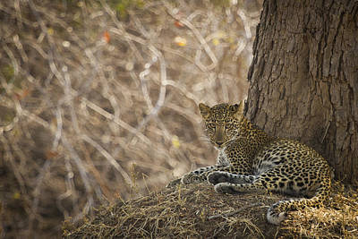 Leopard In Its Environment Poster