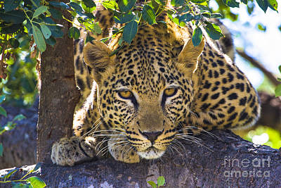 Leopard In Tree Poster