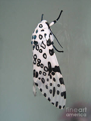 Leopard Moth Poster