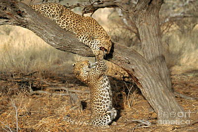 Leopard Panthera Pardus Poster by Art Wolfe