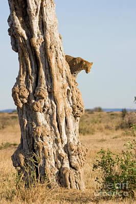 Leopard Panthera Pardus Descending Tree Poster