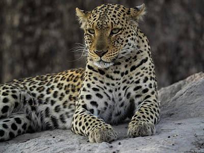 Leopard Panthera Pardus On Termite Poster