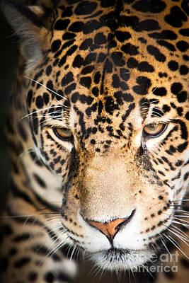 Leopard Resting Poster