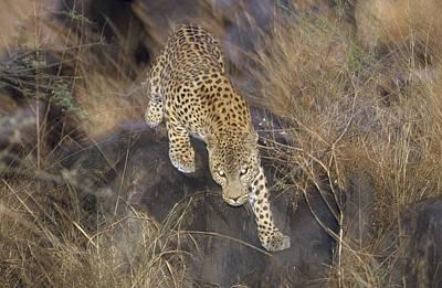 Leopard Running At Dusk Etosha Np Poster by Konrad Wothe