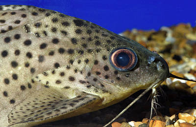 Leopard Sailfin Pleco Poster by Nigel Downer