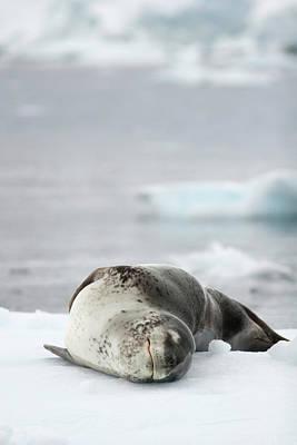 Leopard Seal Hydrurga Leptonyx Sleeping Poster