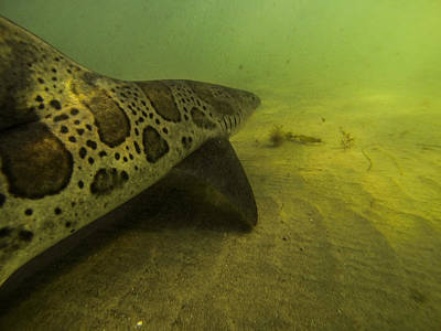Leopard Shark Poster by Shane Brown