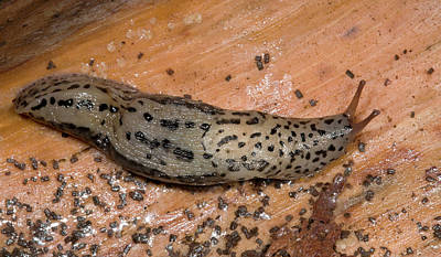Leopard Slug Or Great Grey Slug Poster