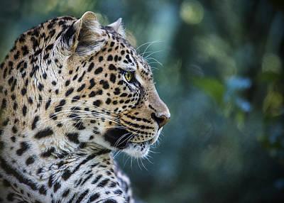 Leopard's Look Poster by Jaki Miller