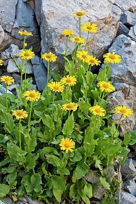 Leopardsbane (doronicum Grandiflorum) Poster
