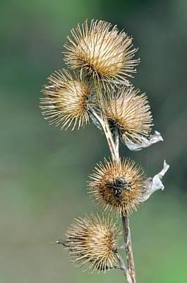 Lesser Burdock (arctium Minus) Seedheads Poster by Colin Varndell