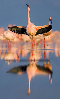 Lesser Flamingo Wading In Water, Lake Poster